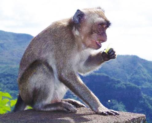 monkey mauritius