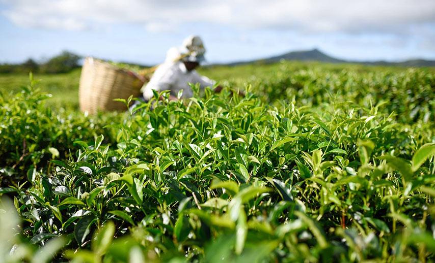 tea-in-mauritius (2)