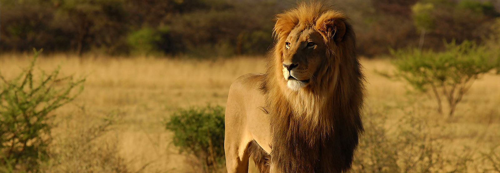 Mauritius Lion